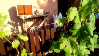 Уход за виноградом в июле. Мой виноградник.