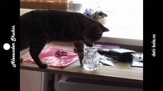 как истинная британская кошка пьет воду   кошки смешное видео   приколы с кошками Смешные приколы с