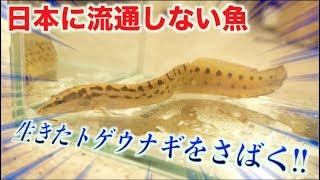 日本に流通しない魚!!トゲウナギをさばいて食べる!!