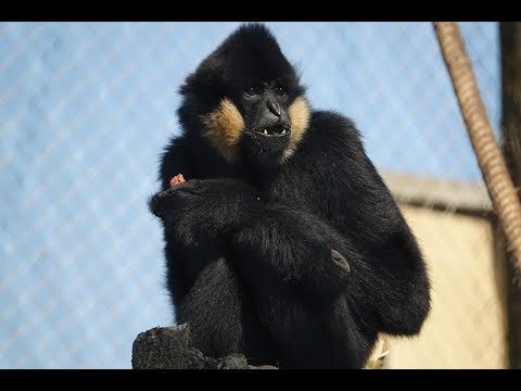 Gibbons swing into ZSL London Zoo