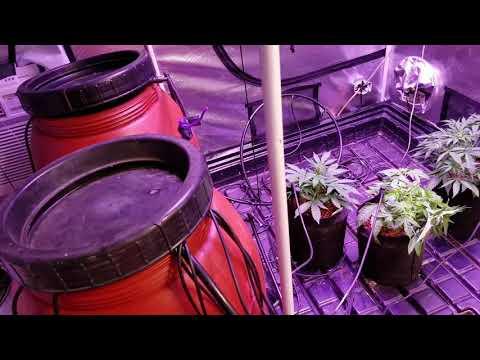 Day 27 autoflower grow perfect sun LED