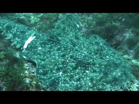 2013-07-13 Calella de Palafrugell -  El Tabal - very big seadevil