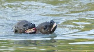 Hyena Tries Drowning Rival