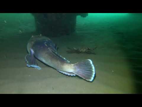 Stargazer Fish Buries Itself