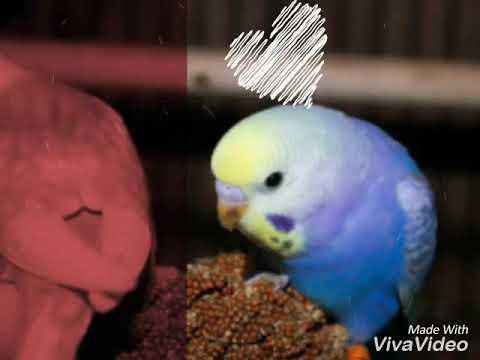 Самые редкие окрасы волнистых попугаев !