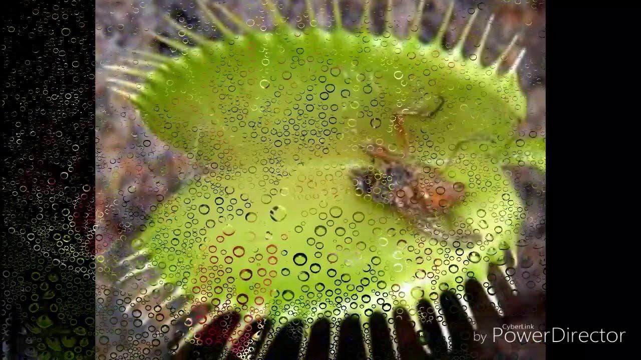 6 сен 2013. Мир плотоядных растений на flowerrr. Ru http://vk. Com/ flowerrr_ekaterinburg.