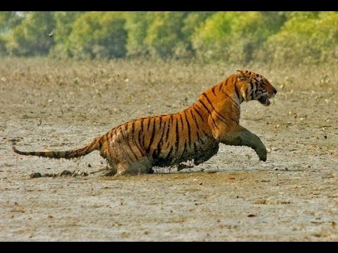 Sundarbans mangrove forest is the lagest in the word