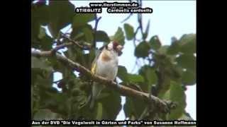 Stieglitz (Distelfink) - Carduelis carduelis