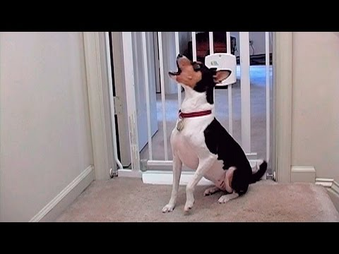 """Lucy the Basenji"" DVD - Howls & Yodels"