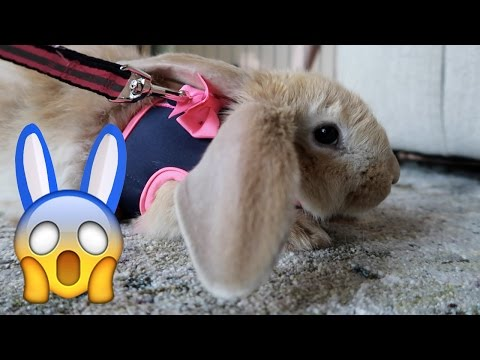 Leash Training Frizbee The Bunny! 😱 (WK 325.2) | Bratayley