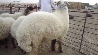 الجرم اكبر خروف في العالم world's biggest sheeps