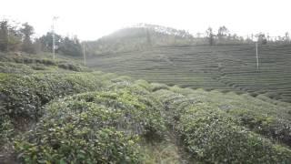 Nokchawon Organic Green tea plantation in Bosung, Korea КОРЕЙСКИЙ ОРГАНИЧЕСКИЙ ЧАЙ