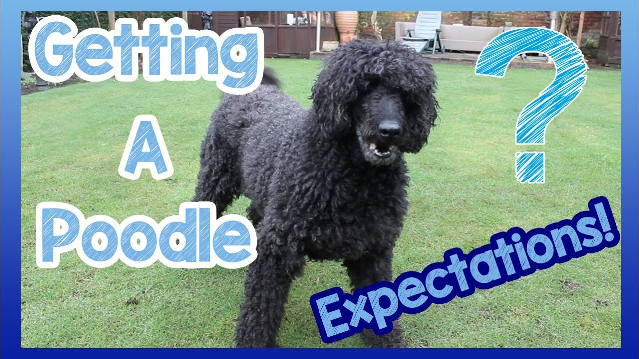 What To Expect When Getting A Poodle 6 Things To Expect When You Get A Poodle Breed Dog