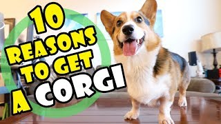 10 Reasons Why You SHOULD Get a CORGI Puppy || Extra After College