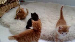 Котята-метисы (мейн-кун и норвежская лесная)