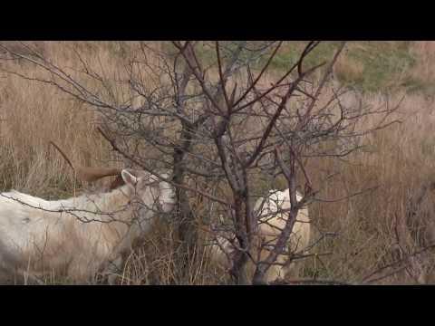 Винторогий горный козёл.Керчь.Опасное. Красавчики козлы.