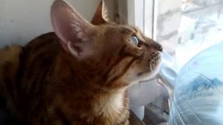 Бенгальский кот разговаривает
