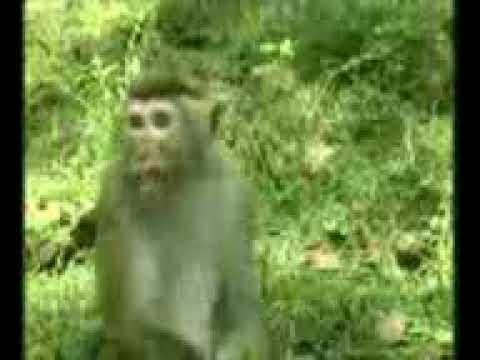 Le singe qui parle Anglais
