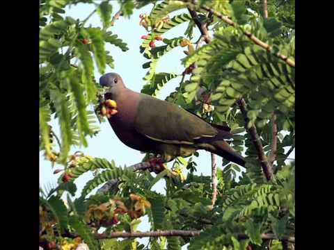 Suara Burung Punai Bersih untuk Pikat