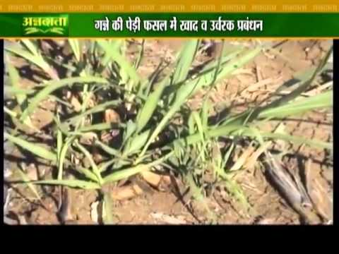 Know how to use proper fertilizers for sugarcane yields
