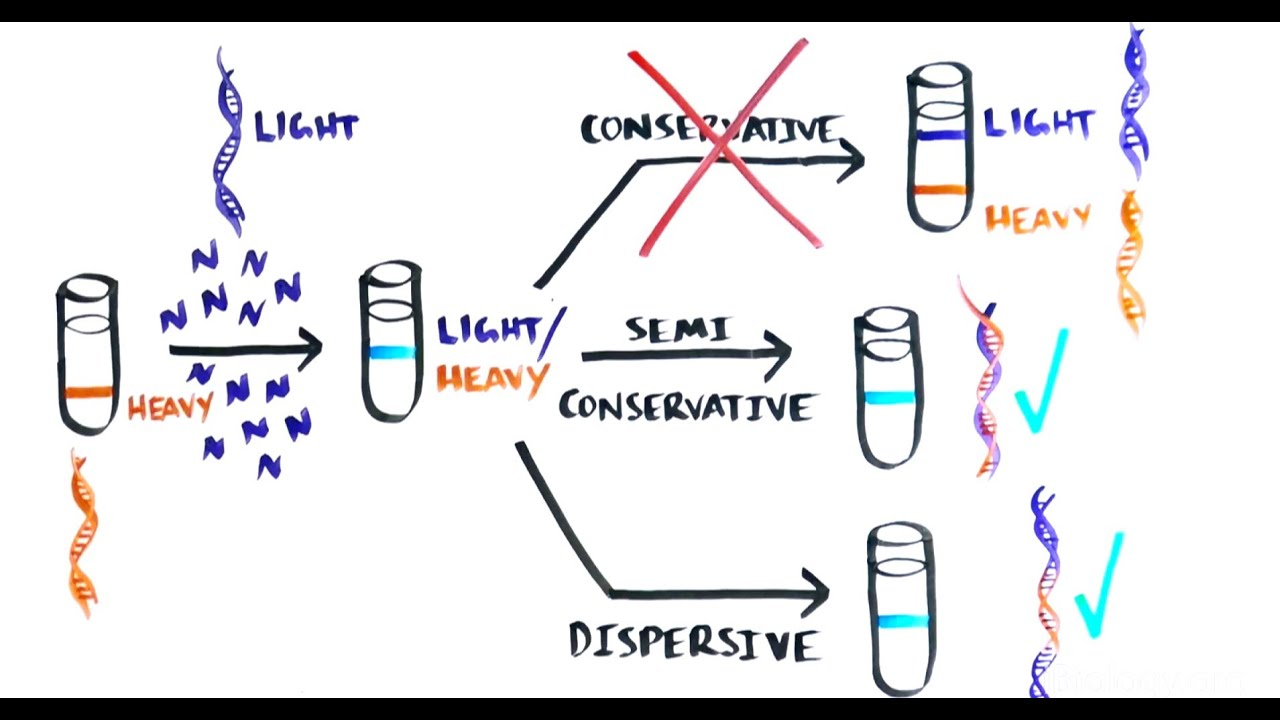 The Most Beautiful Experiment In Biology Meselson Amp Stahl