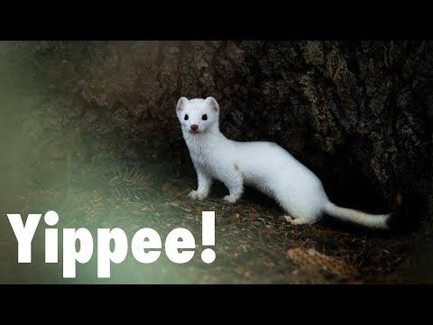 I've got Weasel Fever?!?  |  Wildlife Photography in Jackson Hole
