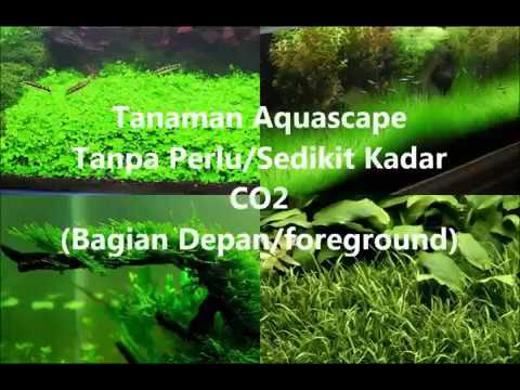 Tanaman Aquascape Tanpa CO2 (Bagian Depan/Foreground ...