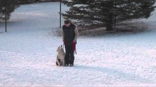 Frankie (australian Shepherd) Obedience Dog Training Video