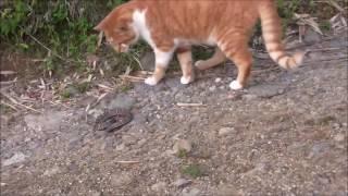 猫とマムシの格闘です。猫パンチの俊敏さにおどろき! この猫は何年も前...