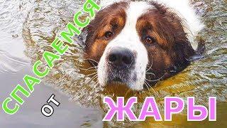 Как спасти собаку от жары летом / Московская сторожевая Булат