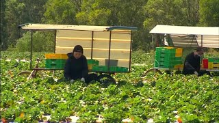 Australia Investigating After Needles Found in Strawberries