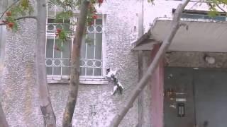 Невероятная кошка видео прикол!Лезет по стене!Человек Паук отдыхает!
