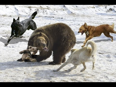 AMAZING MOTHER BEAR TAKE DOWN HUNTING DOGS TO SAVE BABY | Hunting Dogs Fail