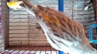 canari agate mosaik chanteur      HP
