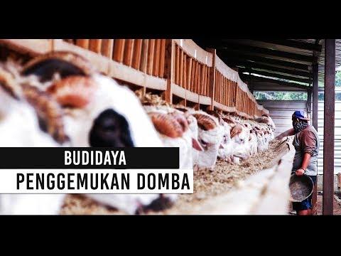 BUDIDAYA PENGGEMUKAN DOMBA PEDAGING