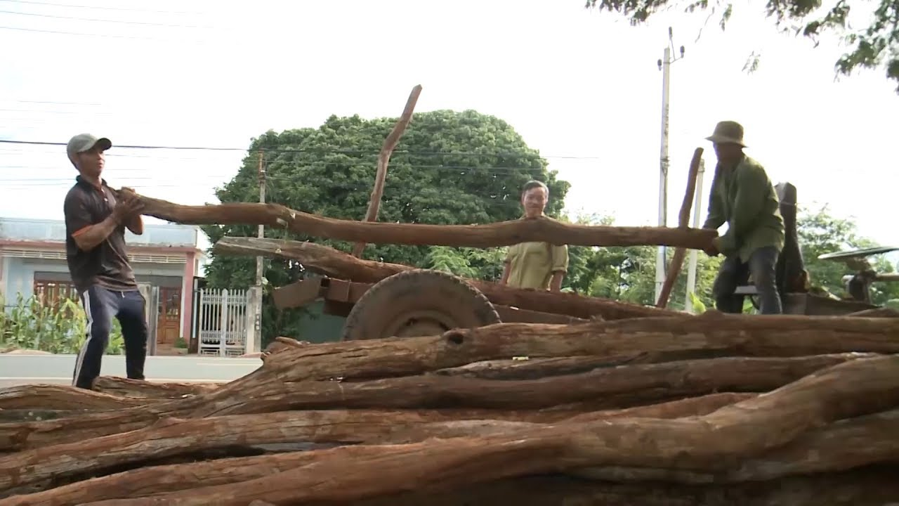 Gia Lai: Nông dân bán tháo trụ tiêu