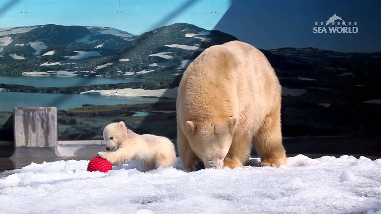 Baby Polar Bear At Sea World In Cub Kindy Youtube