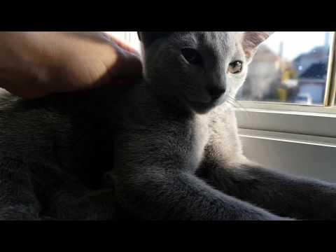 Russian blue kitten purring
