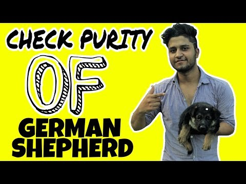 How to Check German Shepherd Puppy Purity in hindi || Pure Gsd || Pure breed ||