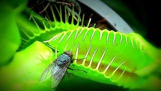 Slow Motion - Venus flytrap ( Venusfliegenfalle )