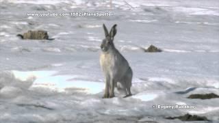 Заяц вблизи аэропорта Иркутск / Hare near airport Irkutsk