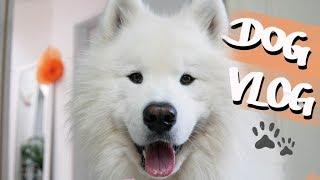 Dog Vlog - One Day In My Life | Wanderlust Samoyed