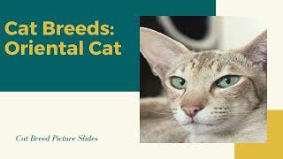 Oriental Slides  Cat Breeds