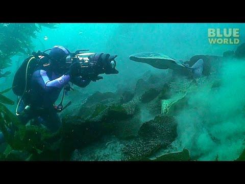 Torpedo ray attacks diver's camera!