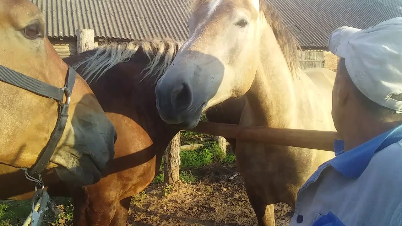ЖЕРЕБЕЦ Лошади vcstgxx смотрите под видео в описании👇