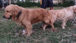 Golden Retriever Puppy for sale || Labrador puppy for sale, saint Bernard for sale , beagle for sale