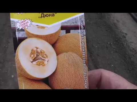 Сею дыни в открытый грунт | посев | дыни