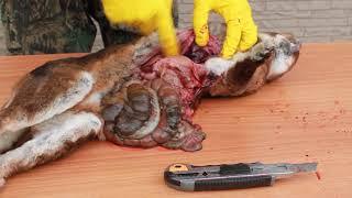 ПАСТЕРЕЛЛЕЗ - быстрый убийца кроликов!!