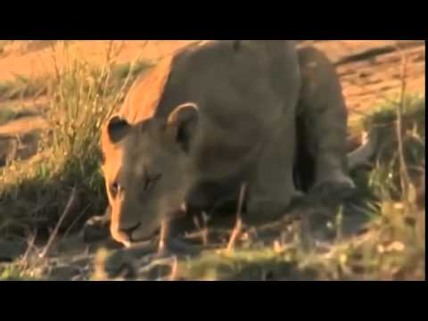 Documentary lion: National