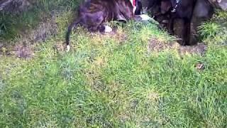 Kimbo Vs Dex  Part 1 (boxer Vs Labrador)